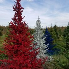 Romagnolis Christmas Tree Farm